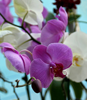 Luisa's orchids